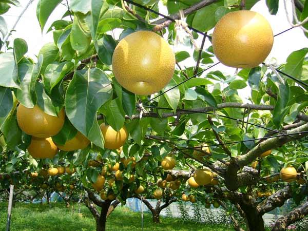 Potare Piante Da Frutta : Potatura alberi piante e siepi provincia di modena il
